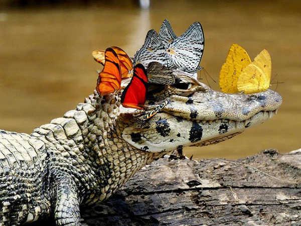 Chiêm nghiệm giấc mơ thấy cá sấu, đánh con đề bao nhiêu chắc ăn?