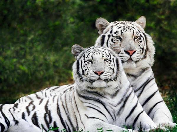 Mơ thấy hổ là đen hay đỏ, đánh con số nào khả năng trúng cao?
