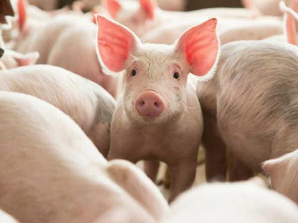 Mơ thấy lợn là điềm dữ hay lành, đánh con lô nào dễ trúng?