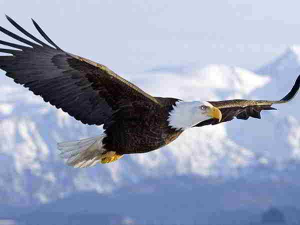 Mơ thấy chim ưng là điềm hung hay cát, đánh con gì trúng lớn?